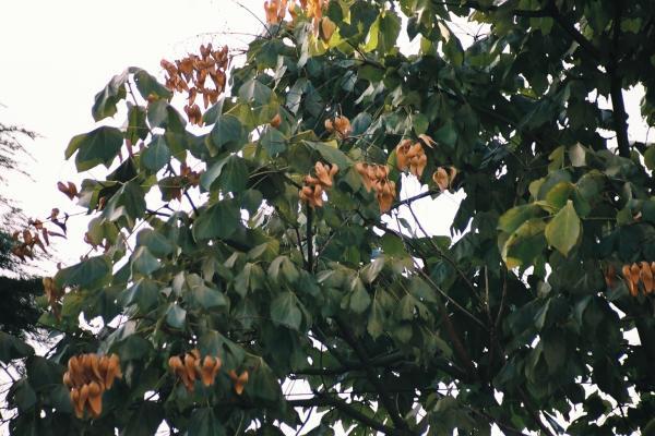 繁るアオギリの葉と茶色の実たち/癒し憩い画像データベース(62654)
