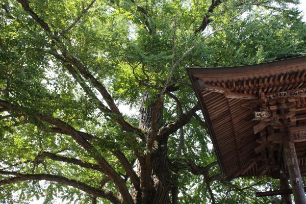 樹木「愛染かつら」と鐘楼/癒し憩い画像データベース(112303)