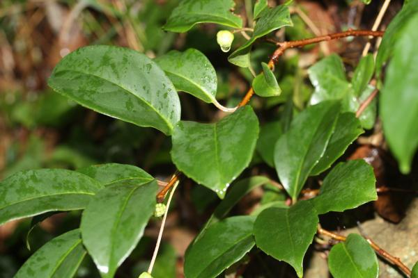ビナンカズラの緑葉