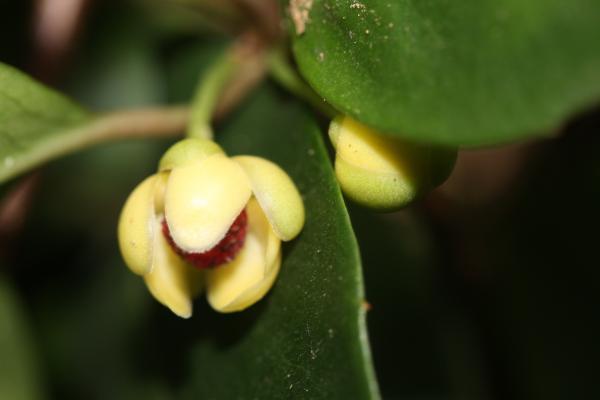 ビナンカズラの開花