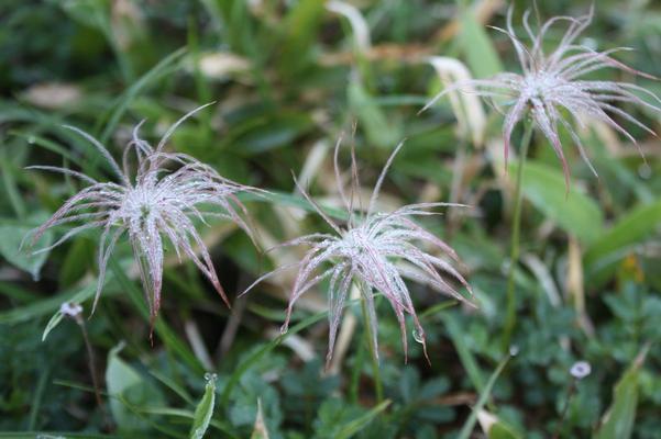 夜露に濡れたチングルマの実・種子