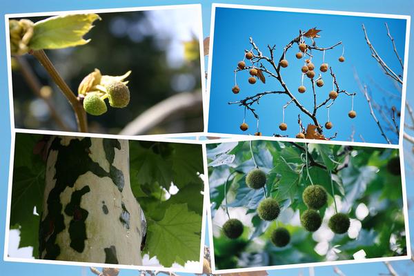 スズカケノキ(鈴懸の木)の四季