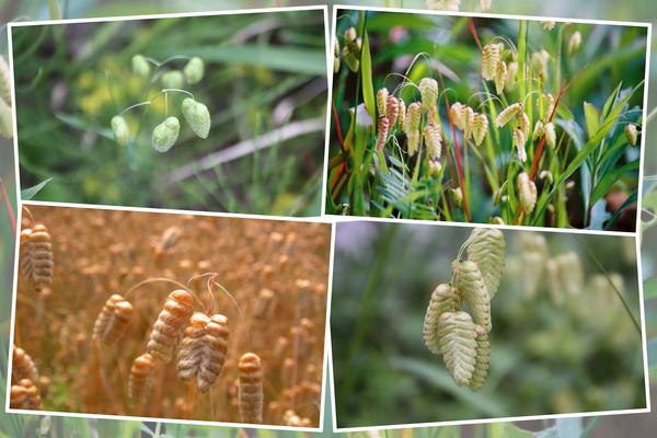 コバンソウ(小判草)の春から夏