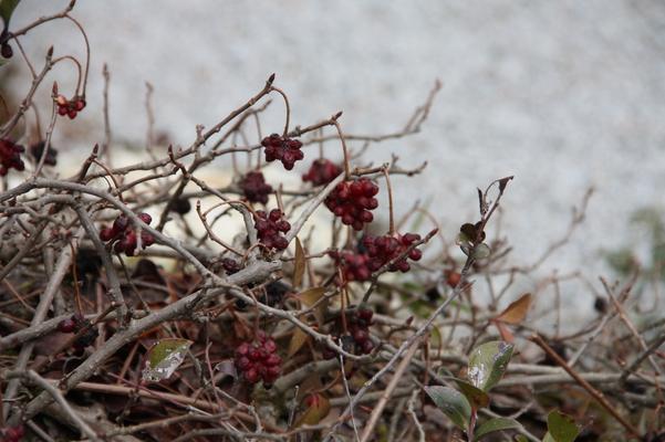 冬のビナンカズラの実