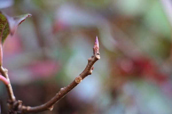 ビナンカズラの芽