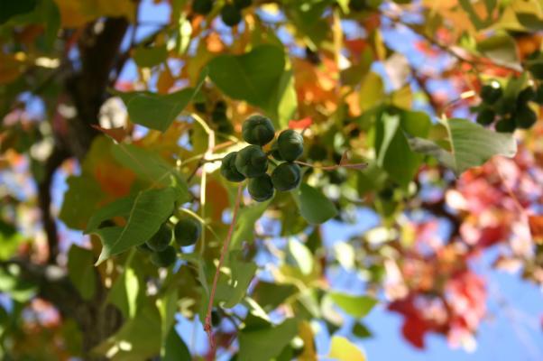 ナンキンハゼの青い実と黄葉