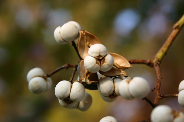 ナンキンハゼの実が割れて出てきた3コの白い種子
