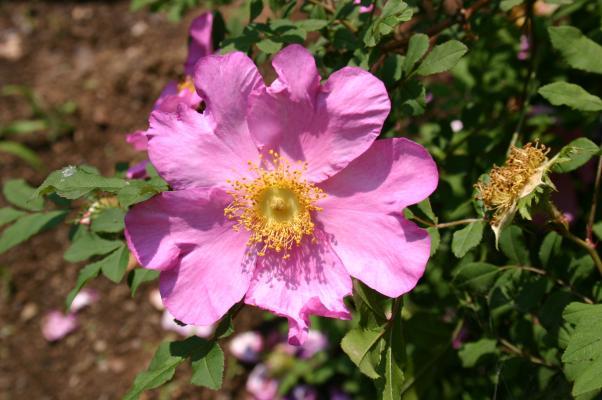 濃いピンク色のサンショウバラ